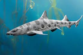 leopard shark san diego zoo animals u0026 plants