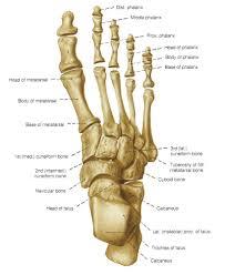 Anatomy Of Human Body Bones Human Skeletal System Foot Anatomy Chart Body