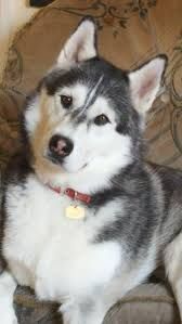 1309 best siberian husky images on pinterest siberian huskies