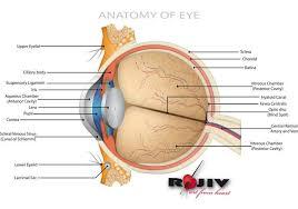 Anatomy Of The Eye Anatomy Of Eye Download Free Vector Art Stock Graphics U0026 Images