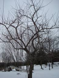 apple tree pruning 2013 part 1 improved ecosystems