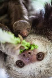 lincoln park zoo welcomes baby hoffman s two toed sloth