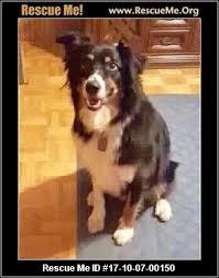 6 month australian shepherd virginia australian shepherd rescue u2015 adoptions u2015 rescueme org