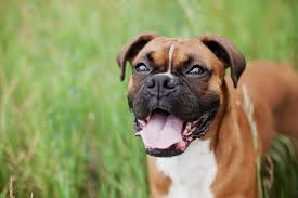 boxer dog origin boxer dog breed information continental kennel club
