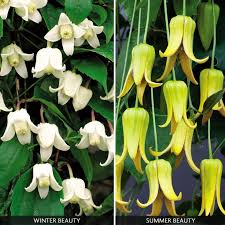 The Summer And Winter Garden - clematis summer and winter flowering collection climbing plants