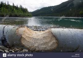 A Bite Of North America by Beaver Bite Marks On Wood Shore Of Thirty Mile River Yukon River