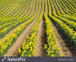 agriculture and forestry daffodil flowers stock image i2127990