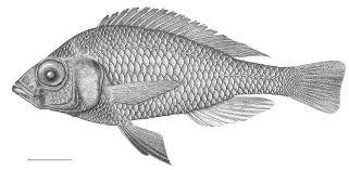 fish drawing cliparts co