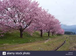 cherry blossoms trees along the road in okitama district yonezawa