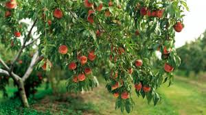 homelife how to care for fruit trees in winter