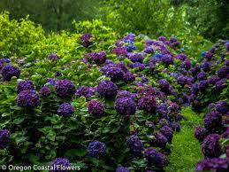 wholesale hydrangeas purple wedding hydrangea oregon coastal flowers