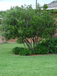 evergreen wax myrtle tree pruned can grow as bush wilmington