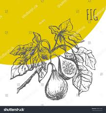 figs tree brunch vector hand drawing stock vector 588837908