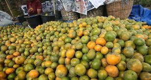 sulawesi barat akan kembangkan komoditi jeruk manis berita daerah