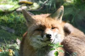 red fox free stock photo