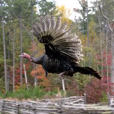 turkeys can fly other thanksgiving turkey trivia fooducate