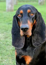 6 month old bluetick coonhound weight black and tan coonhound dog breed information