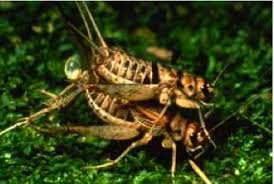 Crickets Meme - beware of crickets bearing gifts the loom the loom