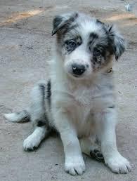 australian shepherd mix puppies for sale best 25 border collie merle ideas on pinterest border collie