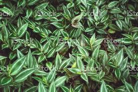 lush green wandering plant stock photo 502617866 istock