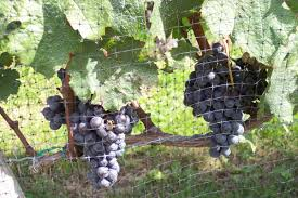 growing grapes on long island tbr news media