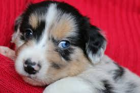 australian shepherd 4 weeks old blue merle mini aussie puppy stonger miniature and standard aussies