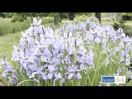 Irises How To Plant Grow by How To Grow Bearded Iris In Your Garden Youtube