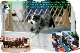 twin oaks 2 australian shepherd turkey run australian shepherds breeders of top quality working
