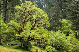 White Oak Oregon White Oak Quercus Garryana Trees Of Lane County And