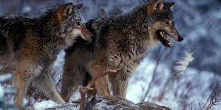 bbc earth when wolves return to the wild everything changes