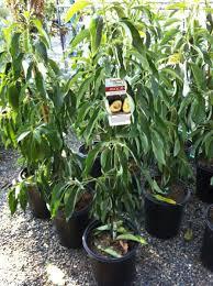 cado avocado tree store tomorrow s harvest by
