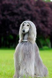 afghan hound judith light glorious wizard too cute pinterest afghans monet and afghan