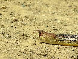 Snake Holes In Backyard Bees Rats And Snakes Seen In Redlands U2013 Redlands Daily Facts