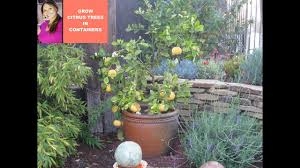grow citrus tree meyer lemons in a container