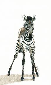baby plains zebra by drawerfun on deviantart