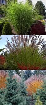 miscanthus sinensis ornamental grass grasses garden gardening