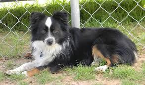 australian shepherd x german shepherd border aussie designer dogs dog breed standards