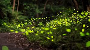 How Do Fireflies Light Up How Climate Change May Affect Fireflies Science Aaas