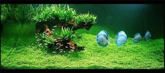 Tropical Aquatic Plants - how to set up a tropical fish tank all aquarium info where to