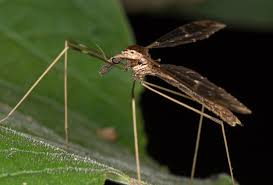 file crane fly from ecuador 14983852477 jpg wikimedia commons