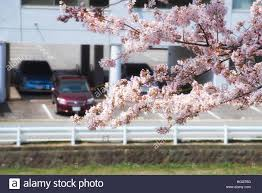 up of cherry blossom tree with bur cars background yamagata