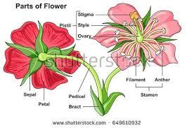 Lotus Flower Parts - biology stock images royalty free images u0026 vectors shutterstock