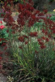 australian native aquatic plants the 25 best kangaroo paw ideas on pinterest water tolerant