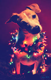 Pictures Of Christmas Lights by 191 Best Dogs Wrapped In Christmas Lights Images On Pinterest