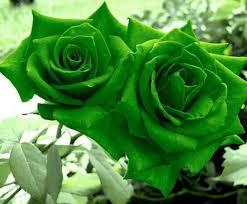 green roses green wallpapers 5290 hdwarena