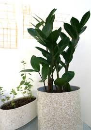 inside house plants tall large house plants png indoor a premium plant kentia palm is