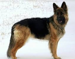 belgian sheepdog dogs 101 king shepherd dog breed information and pictures