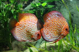 free photo perch ornamental fish aquarium discus fish max