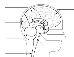 Image Brain Coloring Page Print Pages Human Anatomy Label Bulk Brain Coloring Page