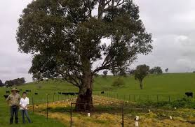 scattered paddock trees property for our threatened species